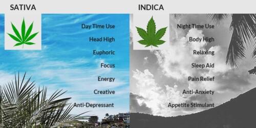 sativa versus indica
