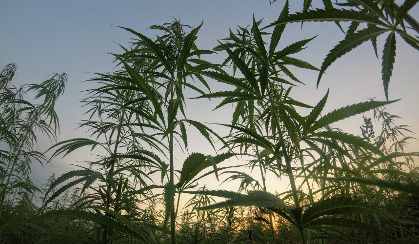 cannabis hemp