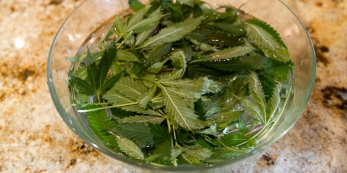 Juicing Cannabis: Medicine without the High 7
